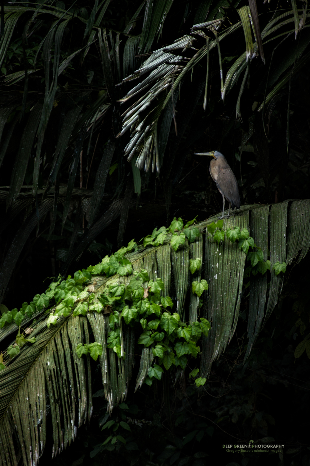Palms & Heron While in Costa Rica's Tortuguero National Park shooting for my coffee table book last week, I had a number of photographic goals. Among them was a shot of the bare-throated tiger heron, a very common and photogenic member of the area's avifauna. I didn't want just a tight shot though; I really wanted an image that showed the lush vegetation of the park but included a heron. I was rewarded one morning when the motor failed on the boat I was in. While drifting around waiting for a mechanic to reach us, a tiger heron flew into a palm tree that was draped with a nice green vine. I shot some photos as soon as the heron flew in, but as we drifted away, I was able to include more of the scene for a pleasing composition. For me, it's an image that really gives the deep forest, Amazon sort of feel that is the essence of Tortuguero. More importantly, my book publisher agreed!