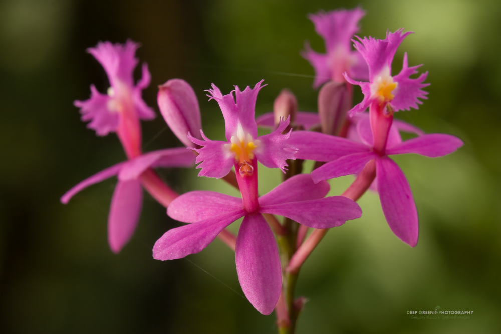 I used a touch of fill-flash (flash exposure compensation was -2) for this image of tiny Epidendrum orchid flowers shot at 1/15 of a second.
