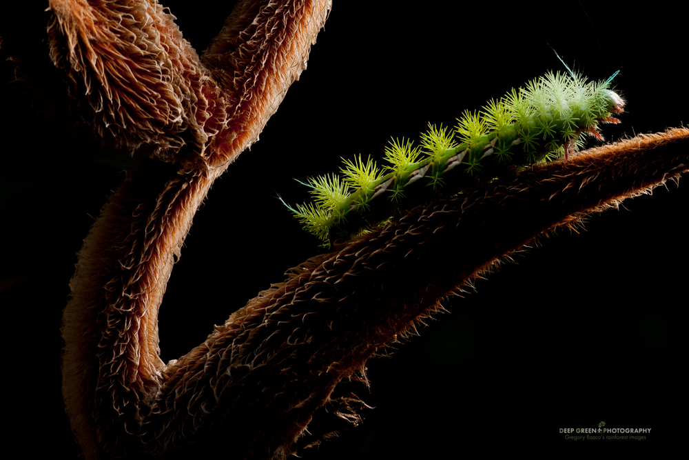 One flash held off-camera above and behind the subject allowed me to highlight the texture on both the Heliconiainflorescence and the moth caterpillar for this image. I liked this image because the lighting looks very much like what one would get on a sunny day in the rainforest – directional lighting and deep shaded backgrounds