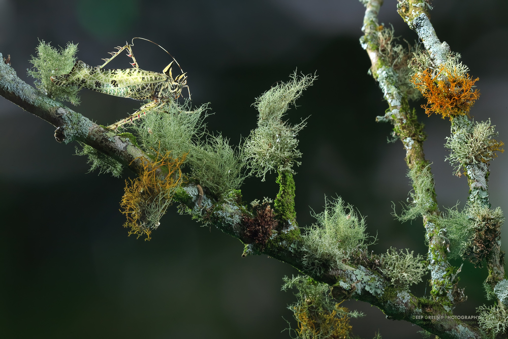 I took this image of a katydid just behind my house. It was camouflaged among the mosses and lichens on the branch of a wild fig tree on my neighbor's farm. An off-camera flash and a silver reflector added some light on this dreary cloud forest day