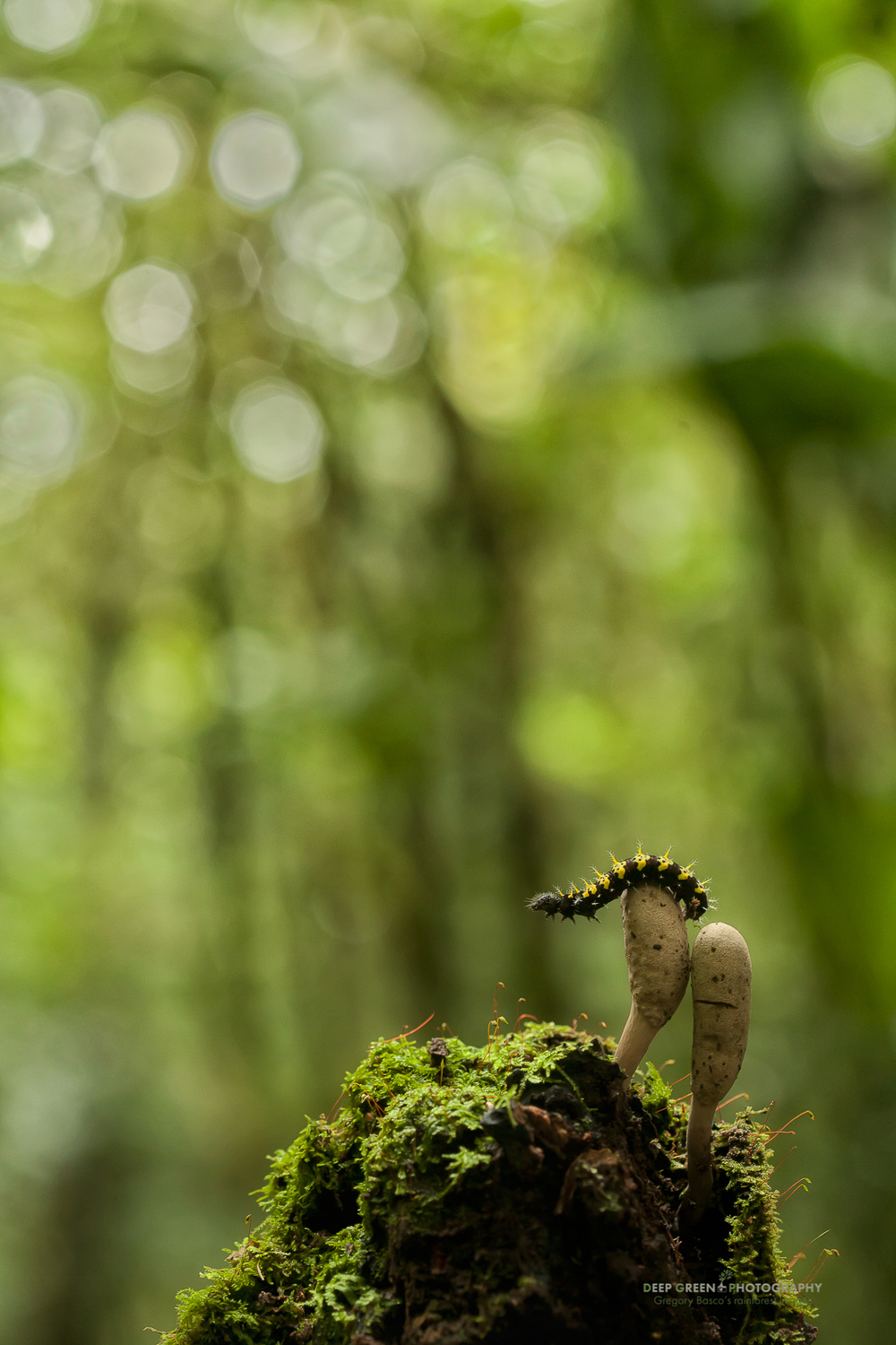 I took this image of a caterpillar while lying on my belly on the floor of a cloud forest. I used a full-frame camera body and my 100 mm macro lens to shoot up at the caterpillar and the mushrooms to give a sense of the towering cloud forest that is home to this little creature. A diffused flash held off-camera in my left hand helped to add a bit of fill and dimension to the subject.