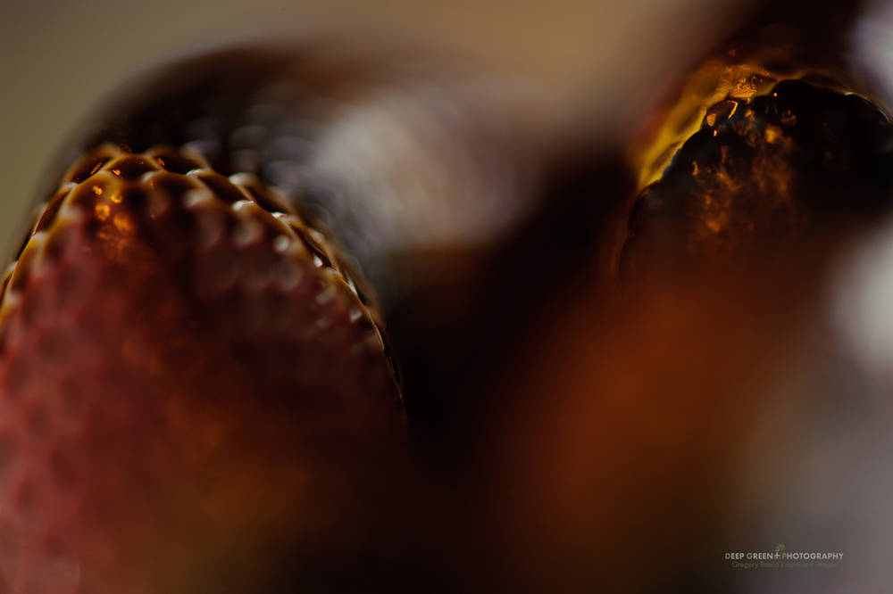 I got in tight on a coral snake (captive but still very much alive!) with a 100 mm macro lens and shot at f/2.8 for this abstract image. I liked the molten gold look to the scales and the surrounding color wash. Two diffused flashes provided the light.