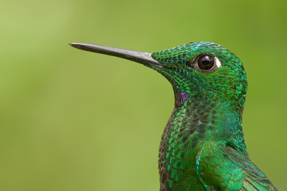 I took this full-frame image of male green-crowned brilliant hummingbird with a 300 mm lens, 2x teleconverter, and a 25 mm extension tube. I used fill-flash to temper the rather harsh mid-day light.