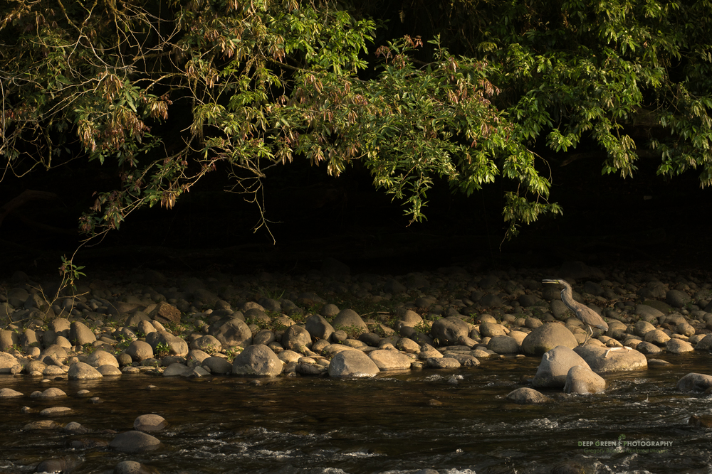 A tiger heron calls at late afternoon along the Sarapiqui River in Costa Rica.
