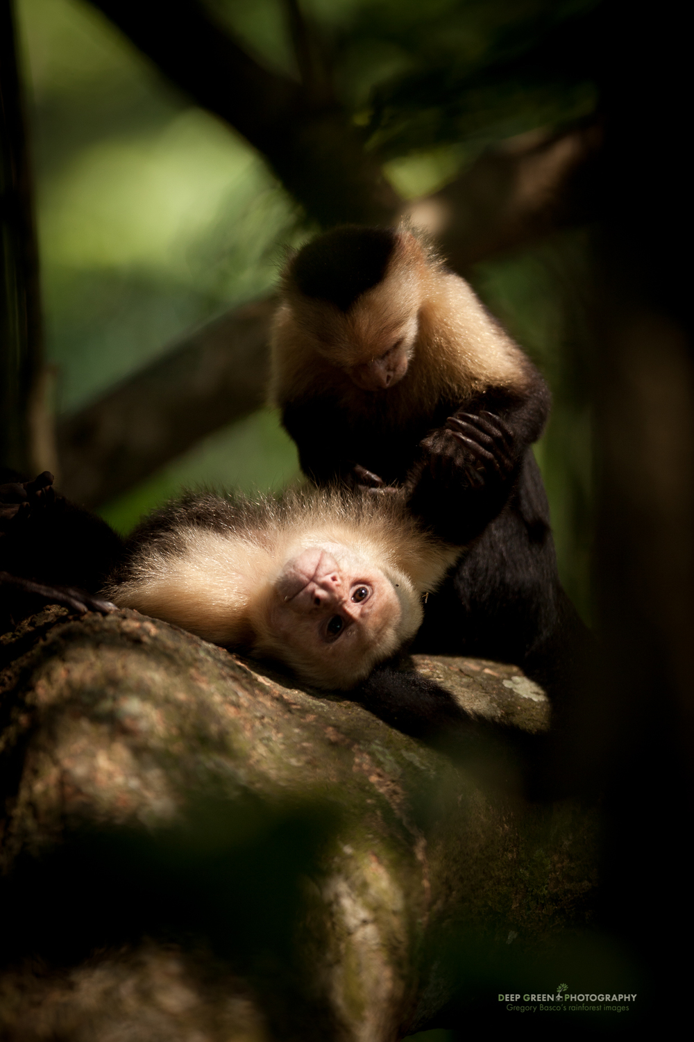 White-faced monkeys grooming in Costa Rica's Manuel Antonio National Park.