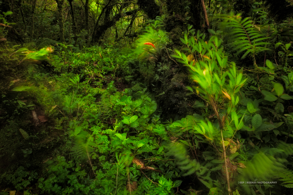 the elfin cloud forest at the very top of the Monteverde Cloud Forest Preserve is subject to constant high winds