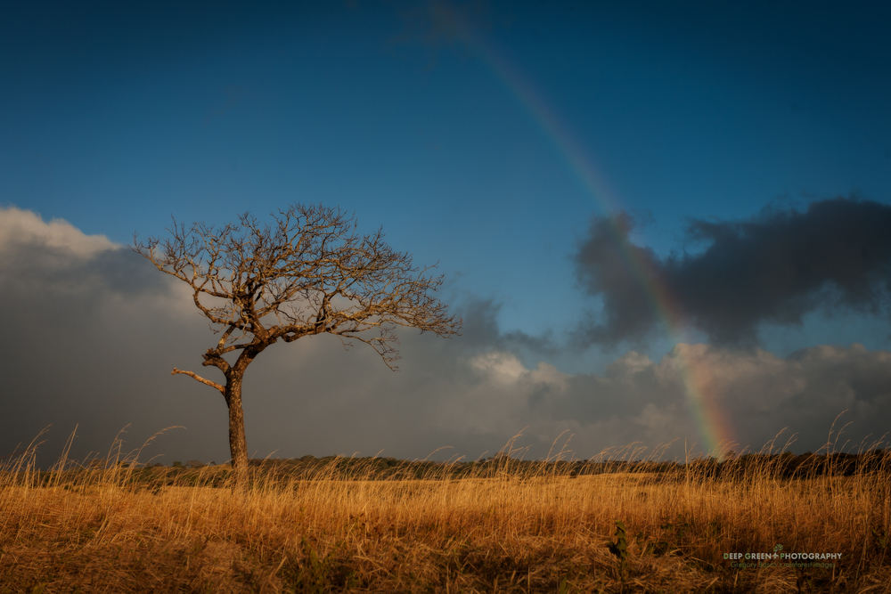 rainbow over a tree in an open savannah in Guancaste