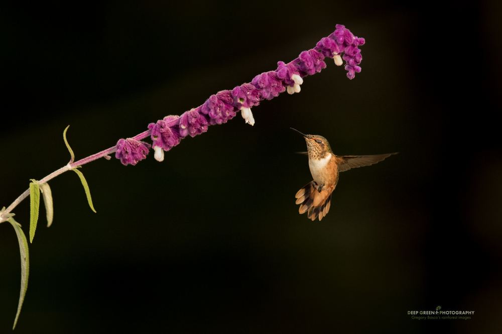 A female Scintillant Hummingbird pollinates a Salvia flower in a garden in Costa Rica's Talamanca Mountains
