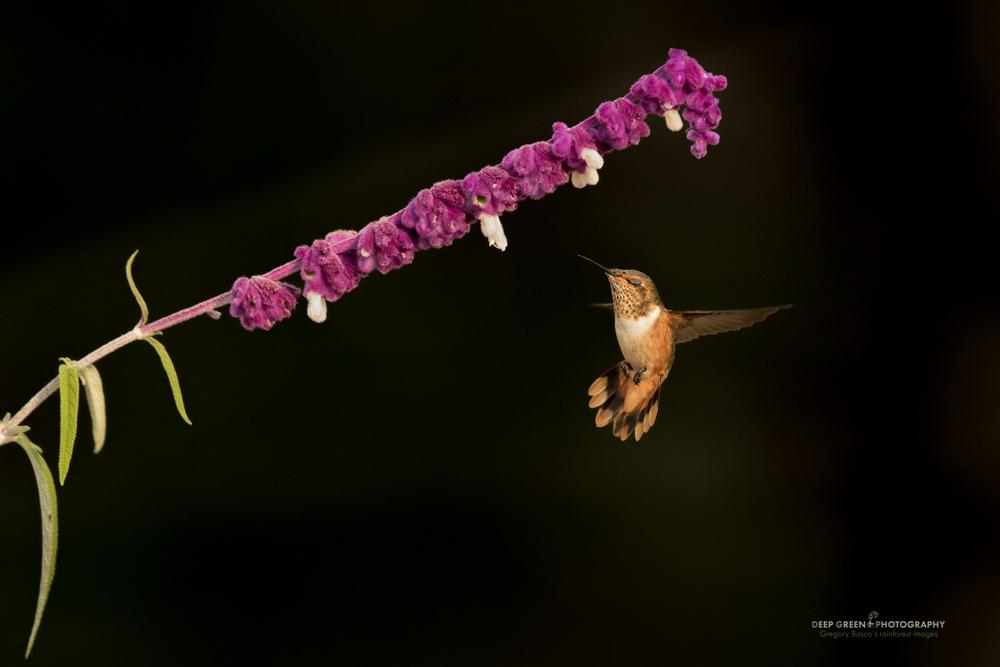 A female Scintillant Hummingbird pollinates a Salvia flower in a garden in Costa Rica's Talamanca Mountains