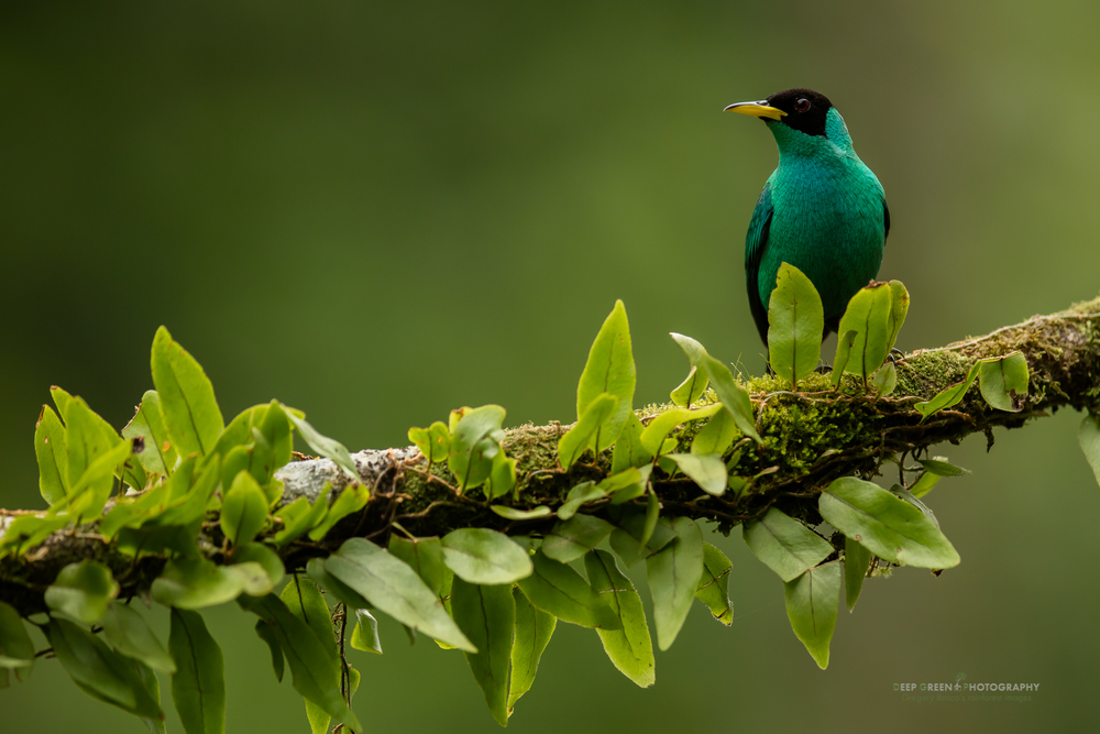 A male Green Honeycreeper on a branch with epiphytic ferns