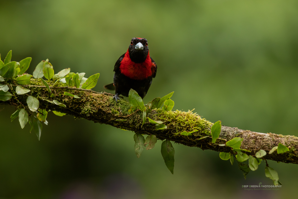 The Crimson-collared Tanager is one of the most beautiful birds of the Costa Rican lowland rainforest.
