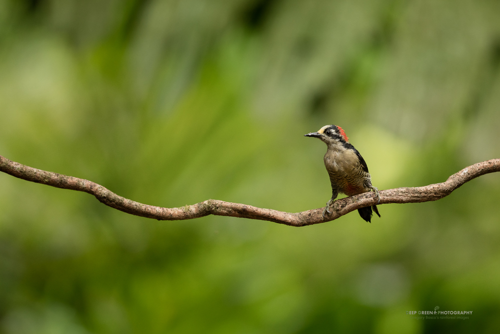 A black-cheeked woodpecker in the forest in the northern lowlands of Costa Rica
