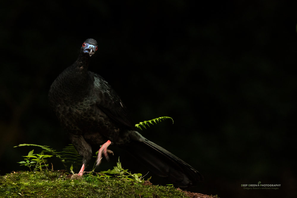 Formerly hunted for their meat, Black Guan, a turkey-like bird of the cloud forest, are now relatively common. They are especially active at the very beginning and end of the day when they drop to the forest floor to feed on fallen fruit and seeds. I took this picture just before nightfall in a Costa Rican clou forest.