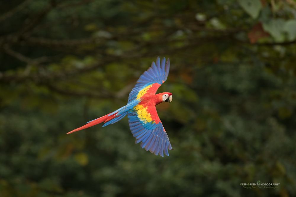 The Scarlet Macaw (Ara macao) is making a comeback in its historical Northern Costa Rican lowland range after the population dipped due to habitat loss and poaching.