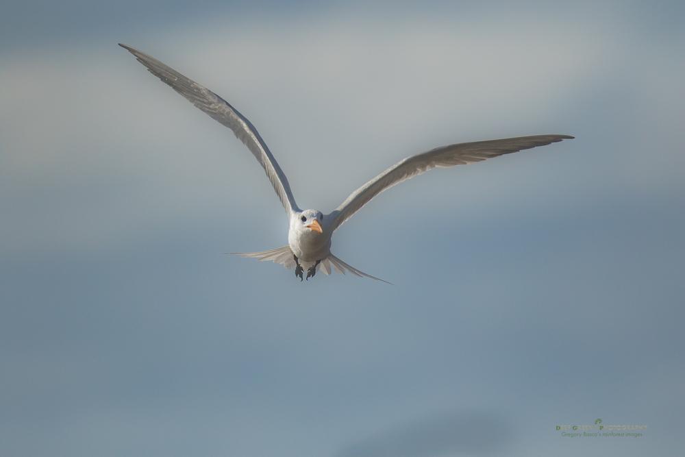 A Royal Tern flies near a rivermouth in Costa Rica's Tortuguero National Park