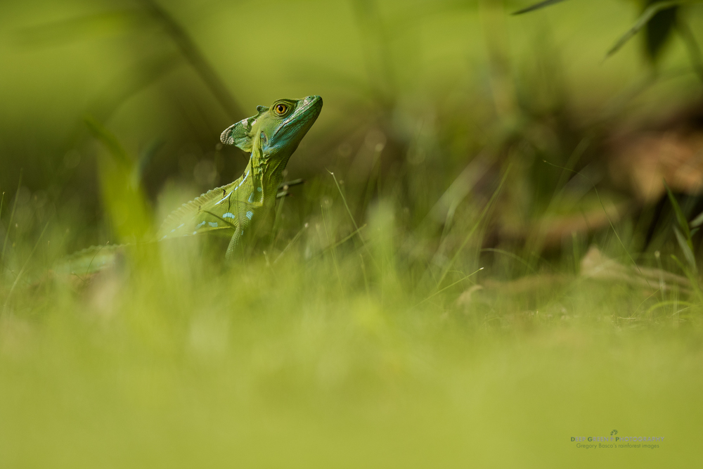 An emerald basilisk lizard on the grounds of an ecolodge near Costa Rica's Tortuguero National Park