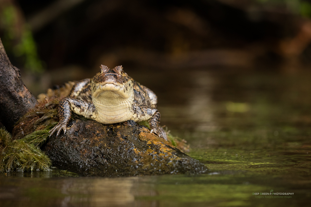 A Spectacled Caiman in Costa Rica's Tortuguero National Park