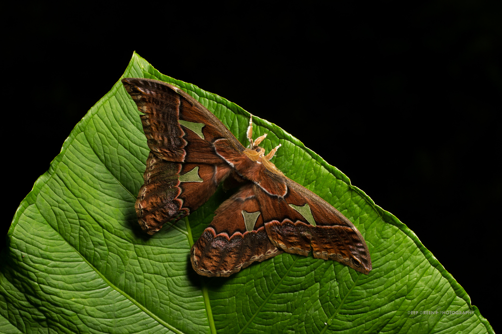 A giant Saturnid moth in the genus Rothschildia taken in a Costa Rican cloud forest.