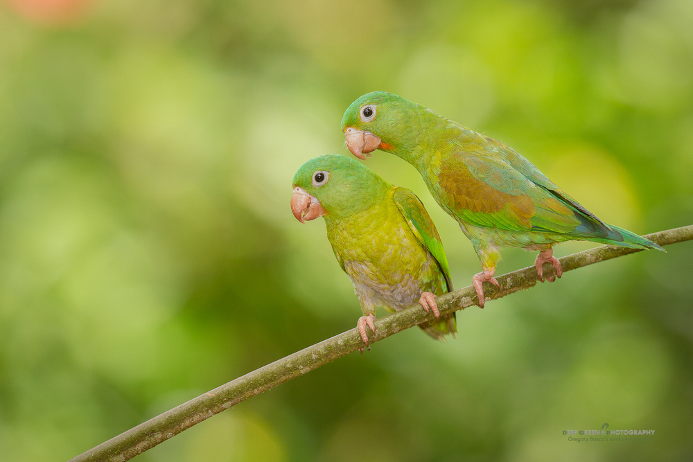 a pair of orange-chinned parakeets on a rainforest branch