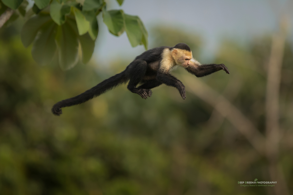 a white-faced capuching monkey leaps through the canopy in a rainforest on the southern Pacific coast