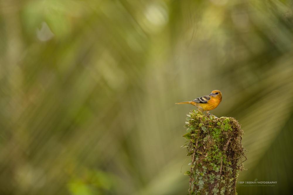 female Baltimore Oriole in Costa Rica