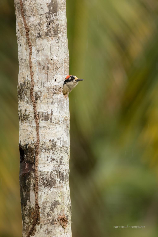 black-cheeked woodpecker in Costa Rica