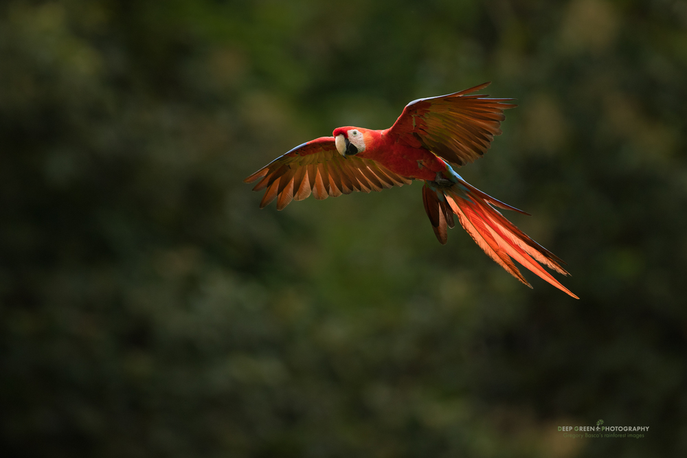 Scarlet Macaw flies through the forest in Costa Rica