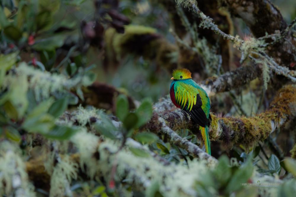 Resplendent Quetzal, Talamanca Mountains, Costa Rica