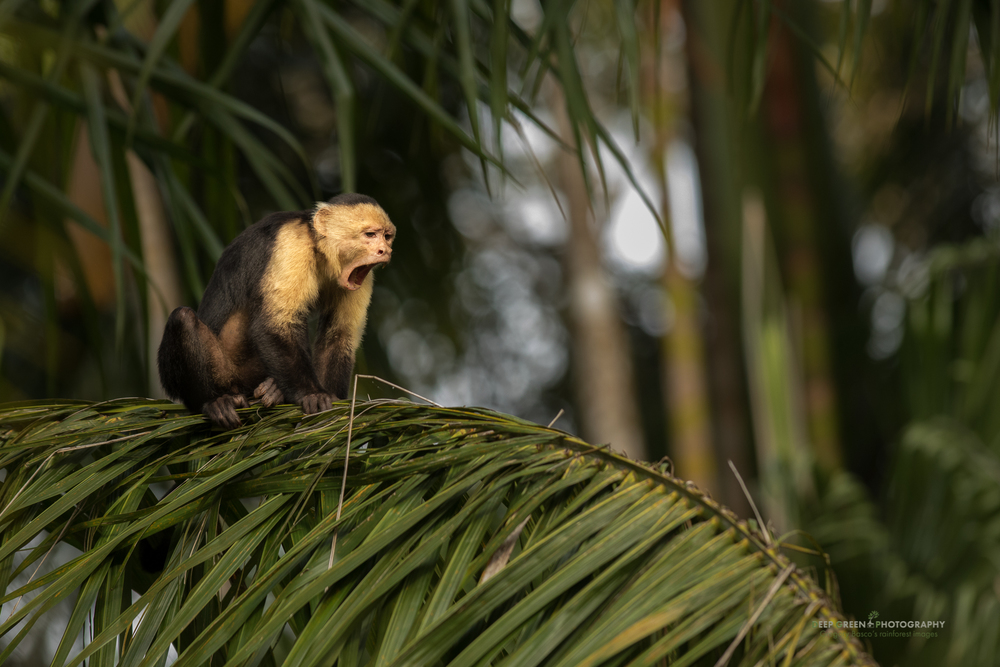 white-faced capuchin monkey, Osa Peninsula, Costa Rica