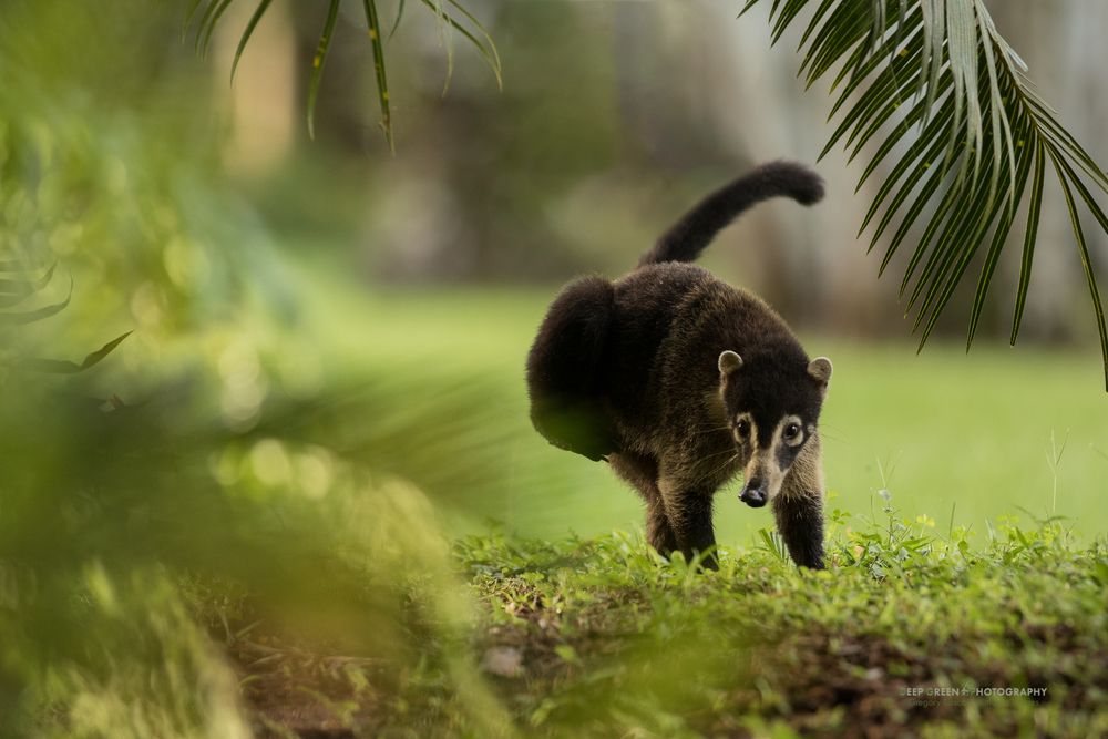 coatimundi, Osa Peninsula, Costa Rica