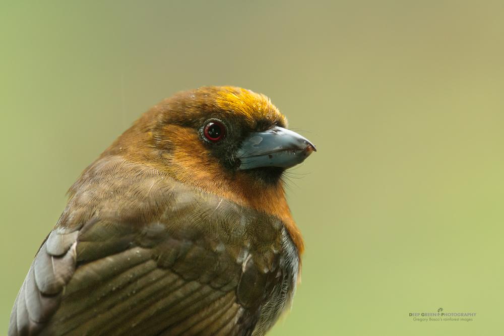 Closeup of a prong-billed barbet, Costa Rica highlands