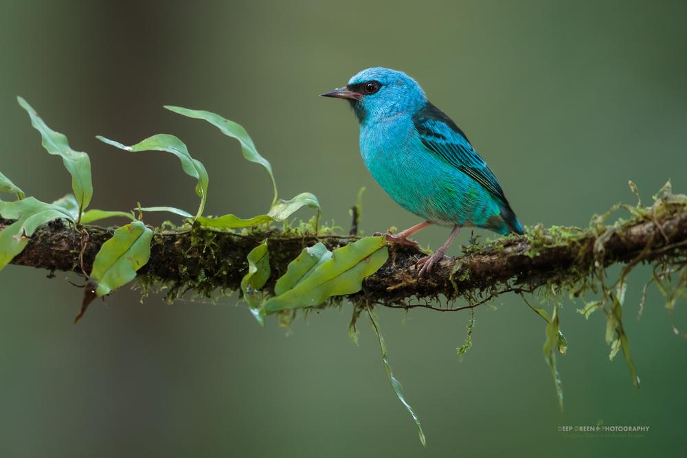Blue dacnis, Costa Rica lowlands