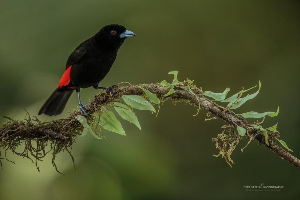 Passerini's Tanager, Costa Rica lowlands