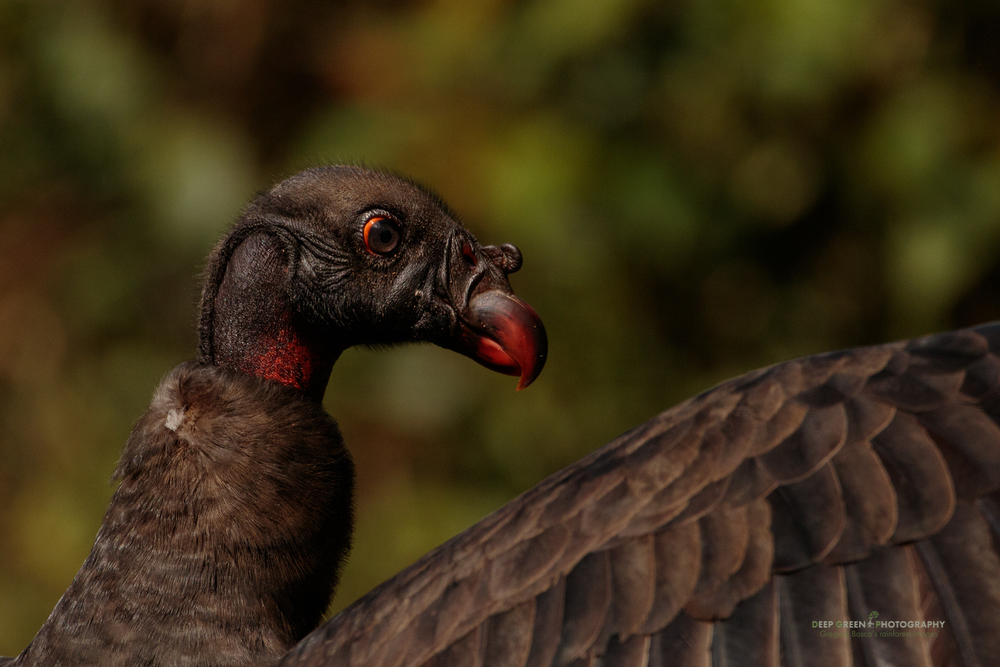 Juvenile king vulture, Costa Rica lowlands