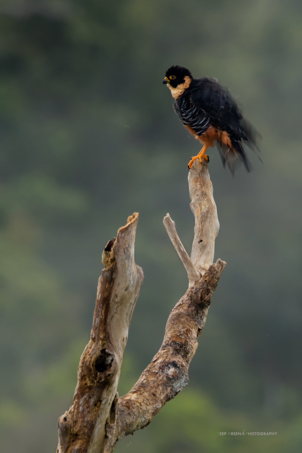 A bat falcon shakes itself to gain a brief reprieve from the mosquitos in the canopy of a rainforest in the Amazon region of Peru