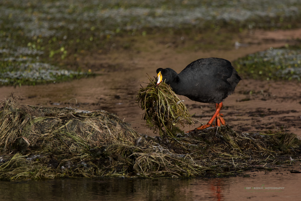A giant coot builds a nest in a highland wetland in the Atacama desert of Chile