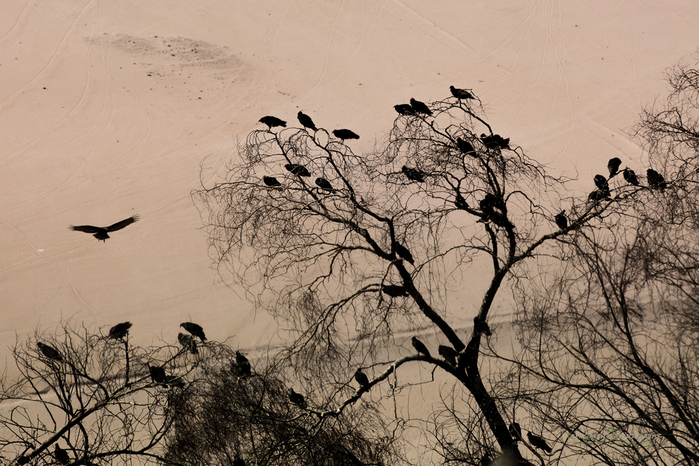 Black vultures against a sand dune in the Atacama Desert of Chile