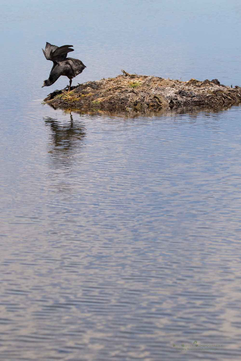 A giant coot protects its nest in a small lagoon in the highlands of Chile's Lauca National Park