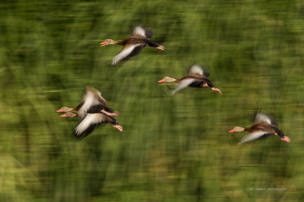 Black-bellied whistling ducks fly along the Tarcoles River