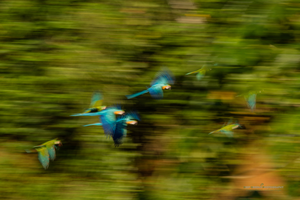 Blue and Yellow Macaw fly through the rainforest near a clay lick in the Amazon region of Peru