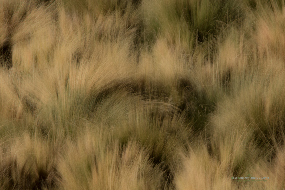 grasses along a small stream in the Atacama Desert of Chile
