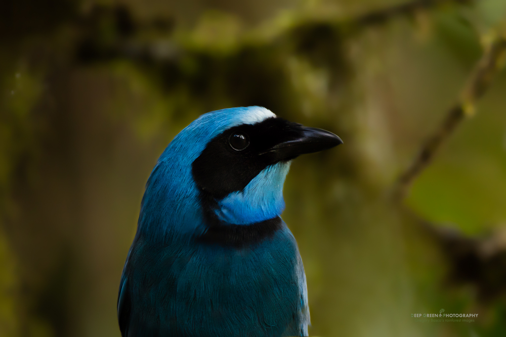 A turquoise jay in the cloud forest in Ecuador