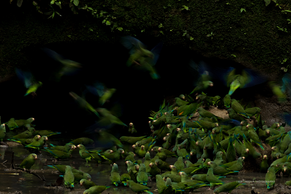 Cobalt-winged parakeets congregate en masse at a clay lick in the Ecuadorian Amazon. Scientists think that the clay may help the birds to flush toxic chemicals (ingested from the fruits and seeds that compose their diet) from their system and also provide much needed salt to the birds. Clay licks occur only in the Western Amazon where the influence of ocean air is null, meaning that salt becomes a scarce commodity.