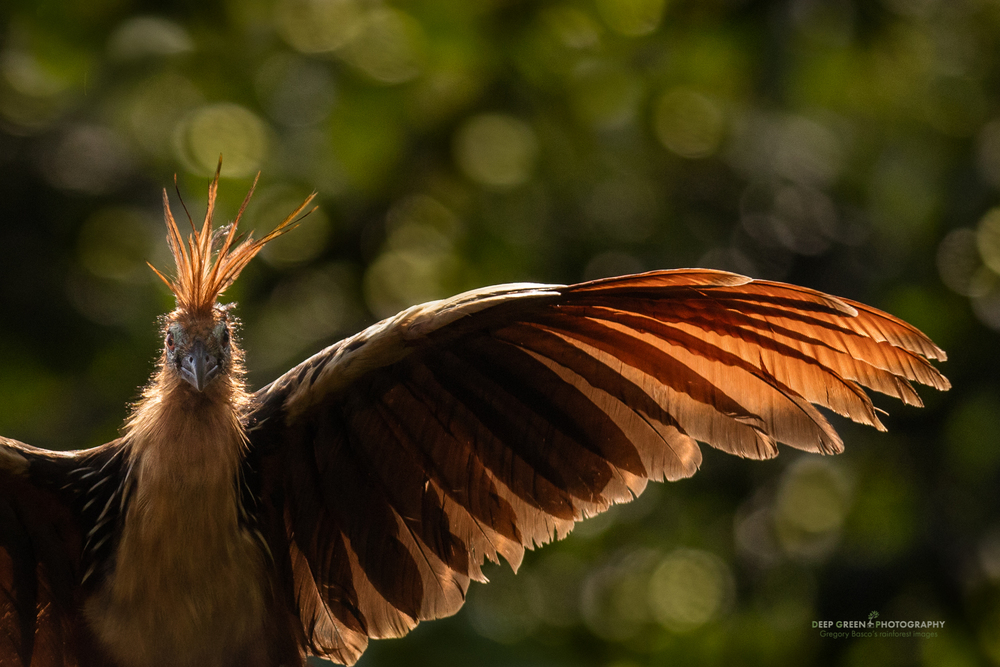 A hoatzin poses for my camera along a tributary of the Napo River in the Ecuadorian Amazon