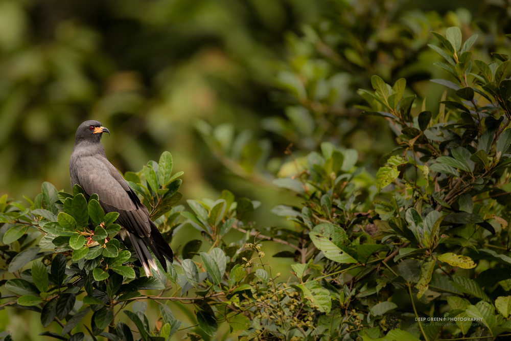 A snail kite searches for food along a backwater tributary in the Ecuadorian Amazon