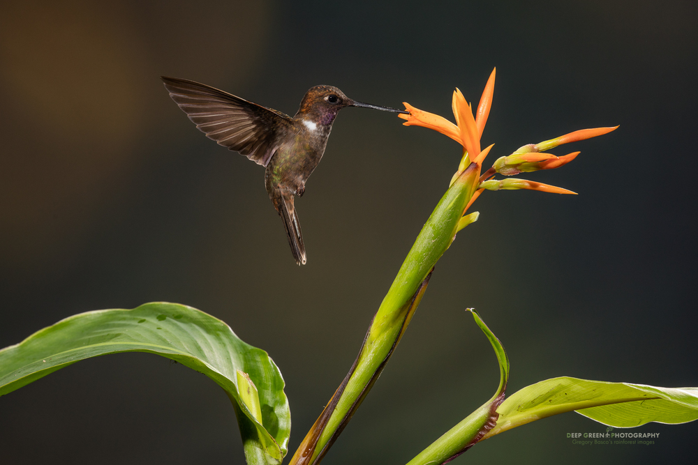 A brown Inca hummingbird visits a Canna flower in a cloud forest in Ecuador