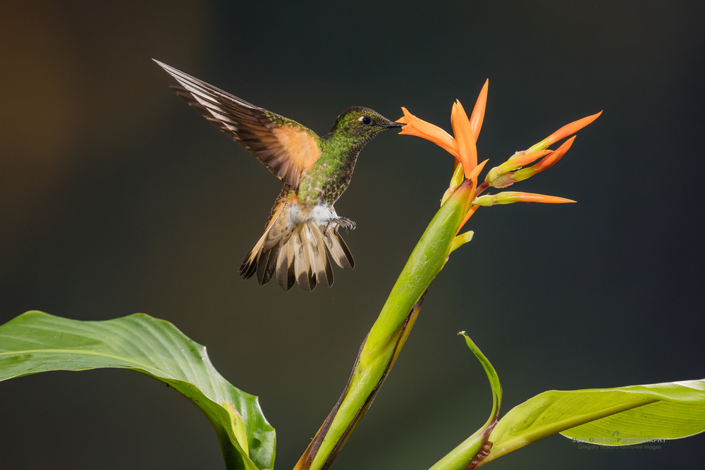 A buff-tailed coronet visits a Canna flower in the cloud forest in Ecuador