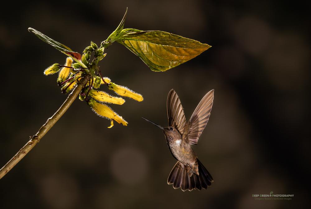 A brown Inca hummingbird visits a Columnea flower in a cloud forest in Ecuador