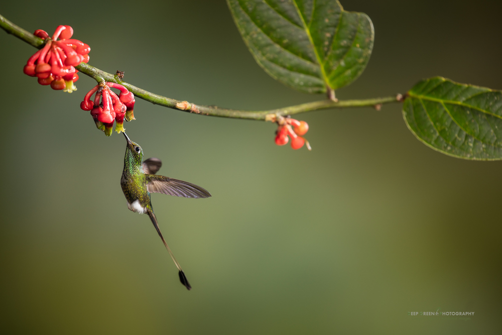 A booted racket-tail visits a tropical blueberry flower in the cloud forest in Ecuador