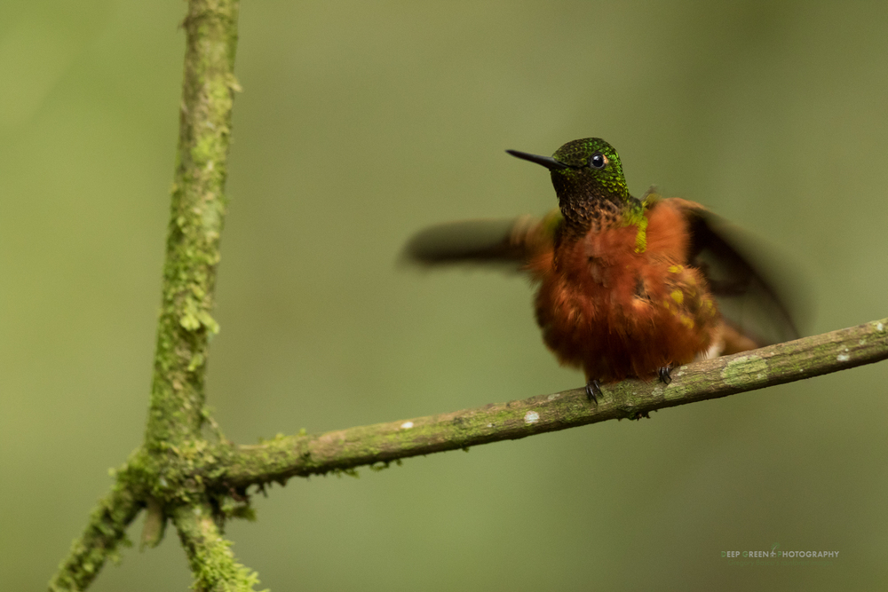 A young chestnut-bellied coronet hummingbird calls for food in a cloud forest in Ecuador